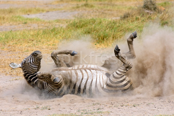 Plains Zebra in dust Stock photo © EcoPic
