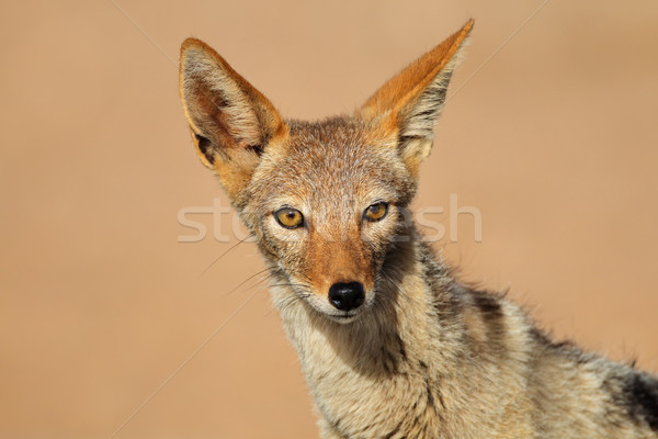 Black-backed Jackal portrait Stock photo © EcoPic
