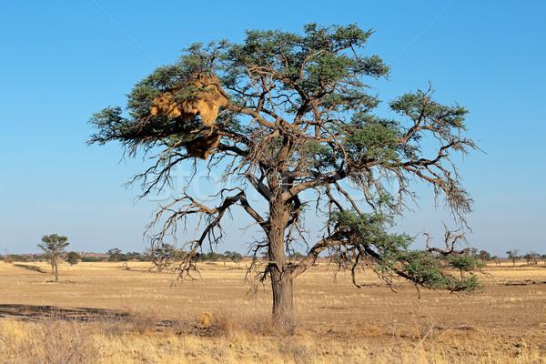 Acacia tree and weaver nest Stock photo © EcoPic
