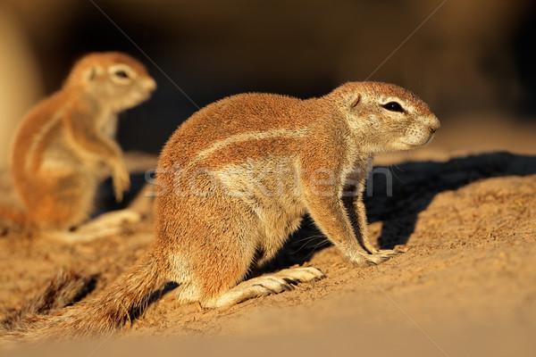 Ground squirrels Stock photo © EcoPic