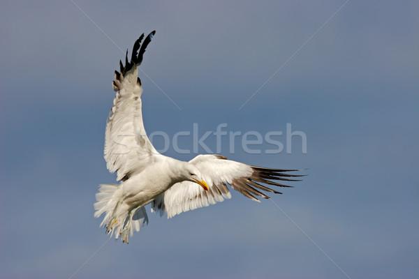 Kelp gull Stock photo © EcoPic