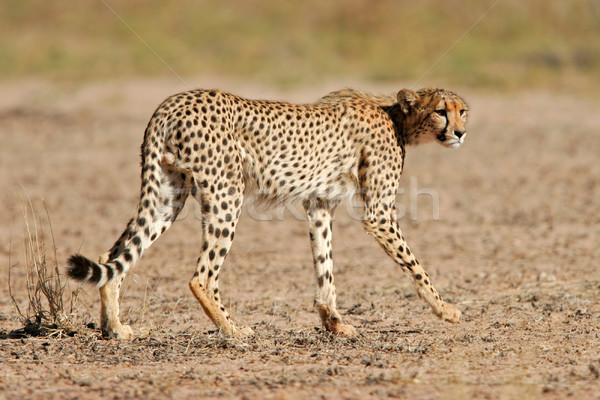 Guépard Afrique du Sud rapide africaine fourrures naturelles Photo stock © EcoPic