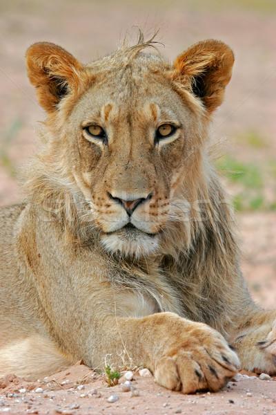 Lion portrait  Stock photo © EcoPic
