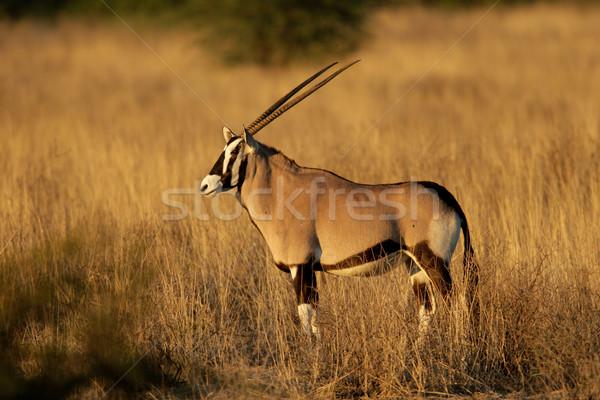 Gemsbok antelope Stock photo © EcoPic