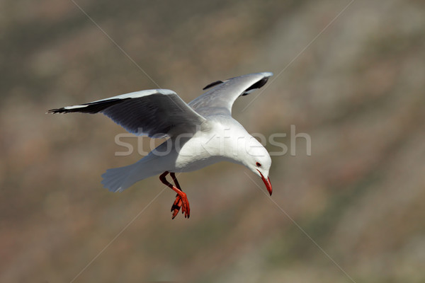 Hartlaub's gull Stock photo © EcoPic