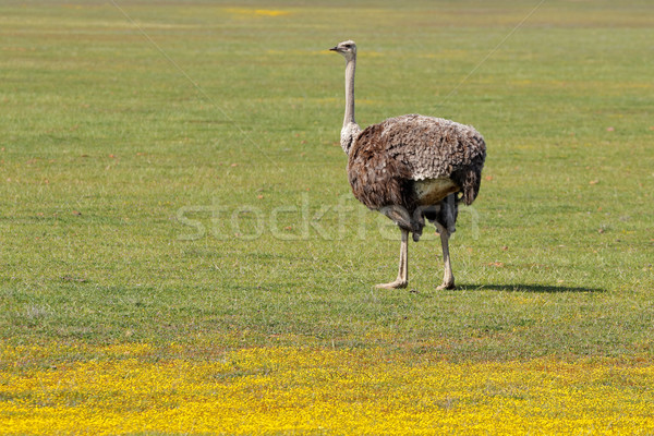 Ostrich and wild flowers Stock photo © EcoPic