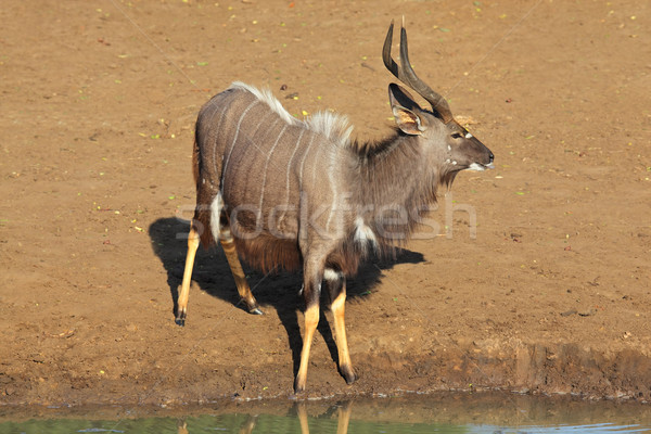 Nyala antelope at waterhole Stock photo © EcoPic