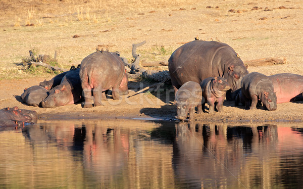 Hippo family Stock photo © EcoPic