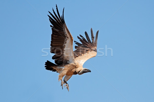 White-backed vulture in flight Stock photo © EcoPic
