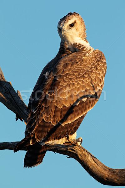 ストックフォト: イーグル · 未熟 · 支店 · 南アフリカ · 空 · 鳥