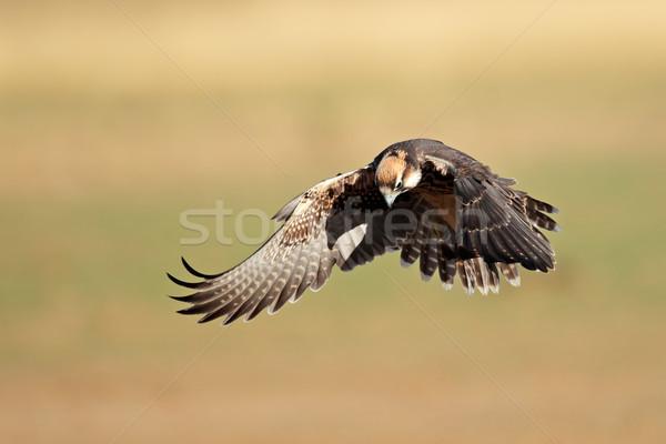 Falcão aterrissagem asas África do Sul África animal Foto stock © EcoPic
