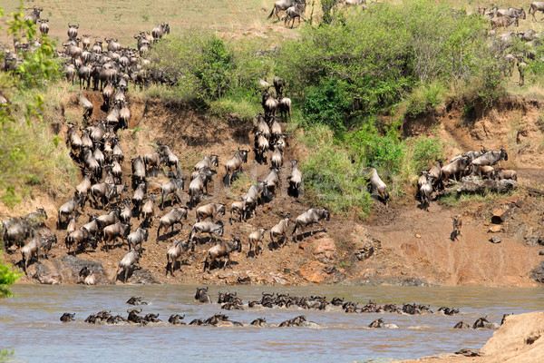 Wildebeest migration Stock photo © EcoPic