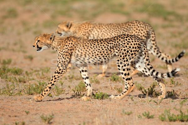 Deux désert Afrique du Sud nature chat Afrique Photo stock © EcoPic