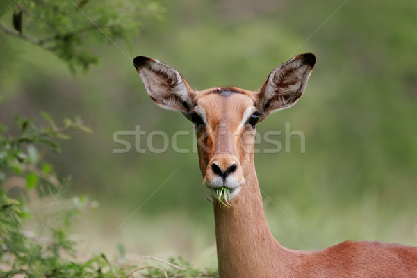 Impala portrait Stock photo © EcoPic