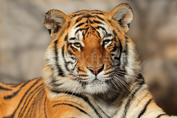 Bengal tiger portrait Stock photo © EcoPic