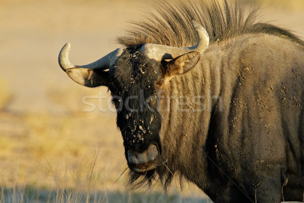 Blue wildebeest Stock photo © EcoPic