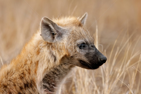 Hyena portrait Stock photo © EcoPic