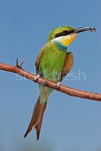Ramo África do Sul pássaro parque animal asas Foto stock © EcoPic