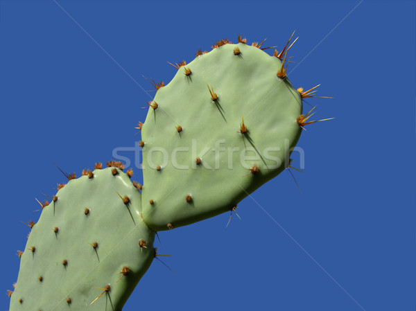 Prickly pear cactus Stock photo © EcoPic