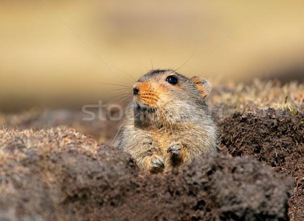 Lodu szczur alpejski środowiska góry Zdjęcia stock © EcoPic
