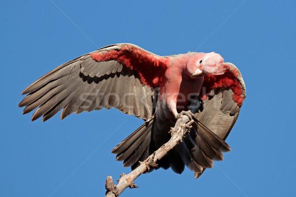 Galah Cockatoo, Australia Stock photo © EcoPic