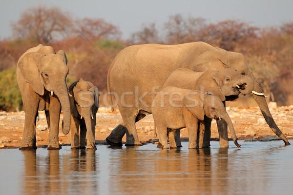 Elephants drinking water Stock photo © EcoPic