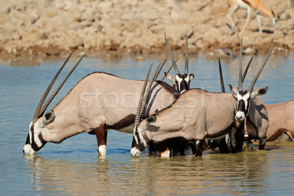 Gemsbok antelopes drinking Stock photo © EcoPic