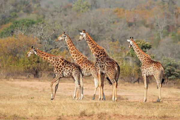 Giraffe Herde wenig Giraffen african Savanne Stock foto © EcoPic