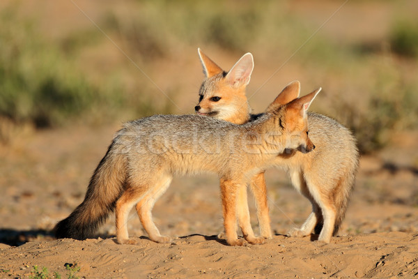 Cape foxes Stock photo © EcoPic