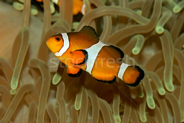 Clownfish Stock photo © EcoPic
