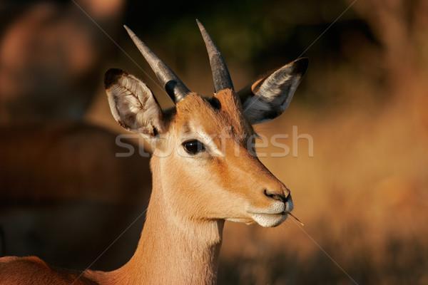 Portret niedojrzały parku Południowej Afryki oczy Afryki Zdjęcia stock © EcoPic