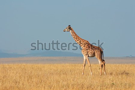 Etosha giraffe Stock photo © EcoPic