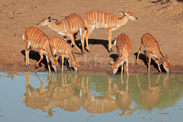 Nyala antelopes drinking Stock photo © EcoPic