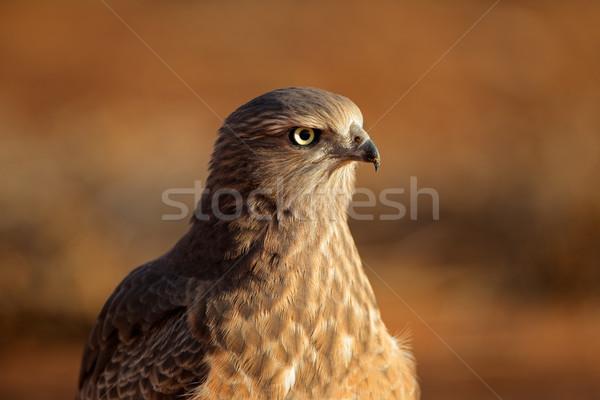 Blady niedojrzały pustyni Południowej Afryki oczy ptaków Zdjęcia stock © EcoPic