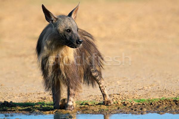 Braun Hyäne Wüste Südafrika Wasser Gesicht Stock foto © EcoPic