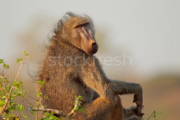 Baviaan groot mannelijke park South Africa haren Stockfoto © EcoPic