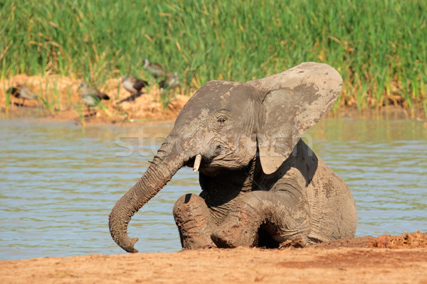 Playful African elephant Stock photo © EcoPic