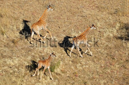 Running giraffes Stock photo © EcoPic