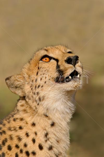 Gepárd portré Dél-Afrika természet gyors afrikai Stock fotó © EcoPic