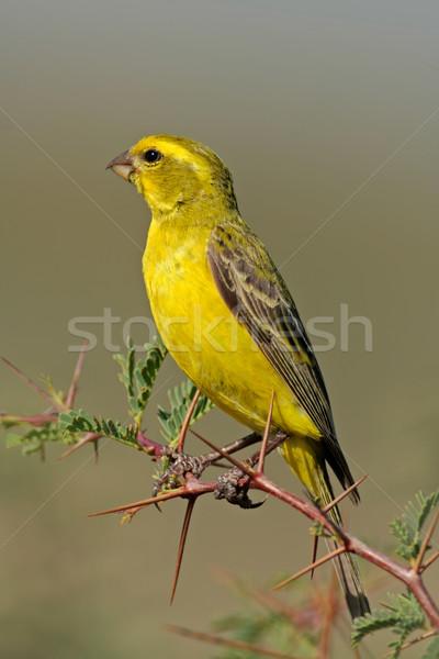 黄色 カナリア 支店 南アフリカ 目 自然 ストックフォト © EcoPic