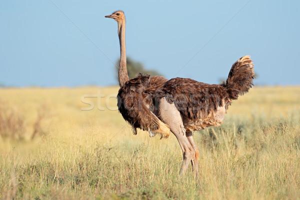 女性 ダチョウ 公園 南アフリカ 空 草 ストックフォト © EcoPic