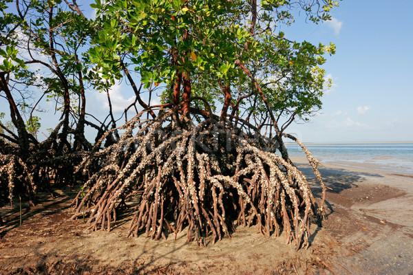Mangrove tree Stock photo © EcoPic