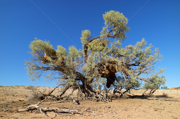 Thorn tree and weaver nests Stock photo © EcoPic