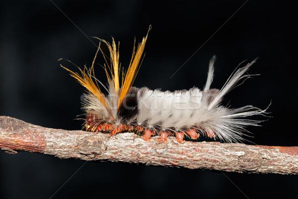 Haarig Raupe Zweig dunkel Körper Tier Stock foto © EcoPic