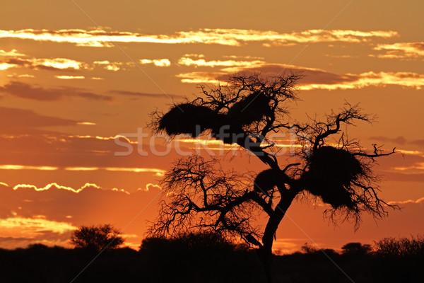 ストックフォト: アフリカ · 日没 · ツリー · 雲 · 砂漠 · 南アフリカ