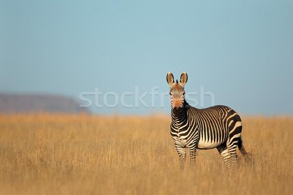 Montana cebra parque Sudáfrica naturaleza animales Foto stock © EcoPic