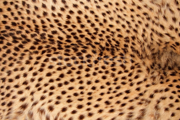 Cheetah huid mode kat Stockfoto © EcoPic