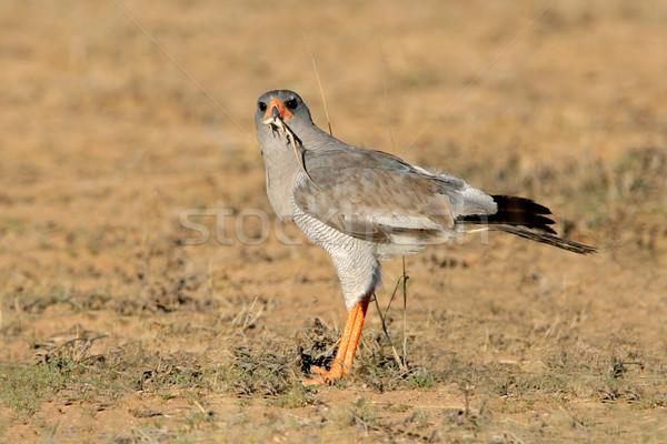 Blady jaszczurka Południowej Afryki ptaków Afryki Zdjęcia stock © EcoPic