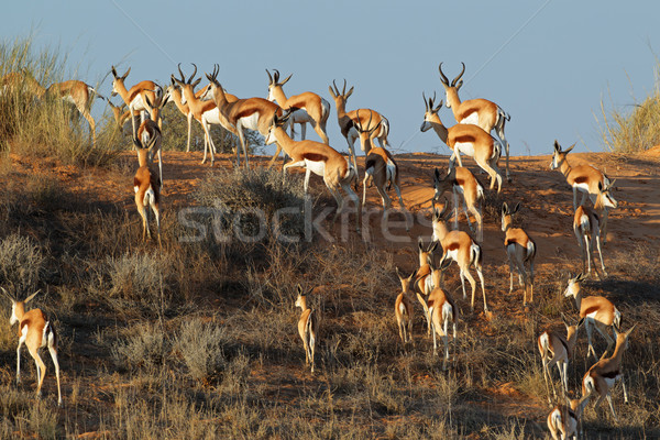 Springbok on sand dune Stock photo © EcoPic