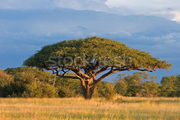 African Acacia tree Stock photo © EcoPic